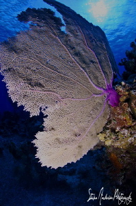 This image of a Sea Fan was taken at the Vulcan Bomber si... by Steven Anderson
