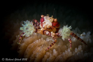 Boxer Crab-Lembeh-snoot by Richard Goluch