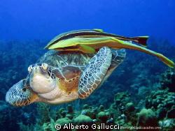 TURTLE WITH REMORAS by Alberto Gallucci