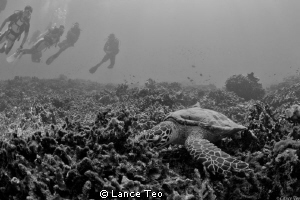 Turtle watching - B/w by Lance Teo