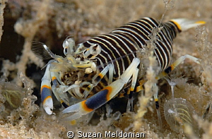 Plump little bumblebee shrimp.. having fun with the 10x now. by Suzan Meldonian
