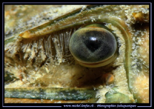 The details of the eye of a Crayfish. by Michel Lonfat