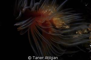 tubeworm by Taner Atilgan