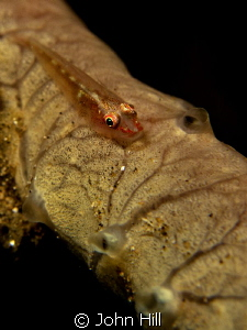 Tiny Goby playing hide and seek around it's home. (Or jus... by John Hill