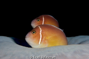 Couple of Anomenefishes by Iyad Suleyman
