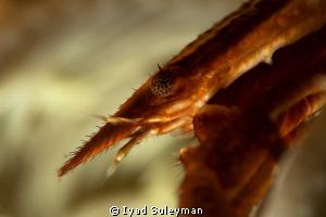 Crinoid squat lobster by Iyad Suleyman