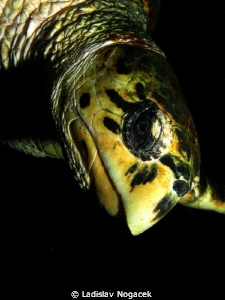 Turtle by Ladislav Nogacek