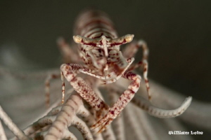 Crinoid Shrimp by William Loke
