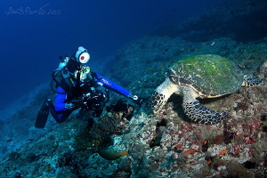 each busy with his business / Hawksbill turtle in Holyda... by Boris Pamikov