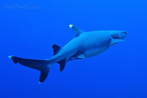 fly away... / Whitetip Reef Shark in Guraidhoo Channel ... by Boris Pamikov