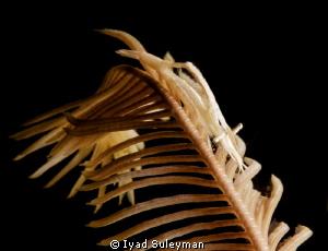 Crinoid shrimp by Iyad Suleyman
