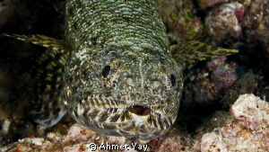 Lizard fish by Ahmet Yay
