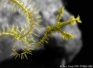 Yellow submarine......  (Ornate ghostpipefish - Solenos... by Marco Faimali (ismar-Cnr)