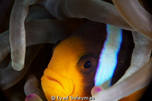 Anemonefish (no crop) by Iyad Suleyman