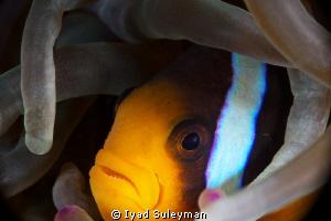Anemonefish (no crop) by Iyad Suleyman