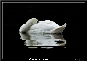 Swan is sleeping...:) by Ahmet Yay
