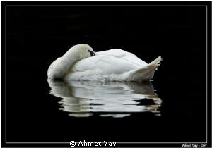 Swan is sleeping...:) by Ahmet Yay