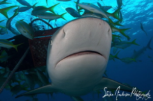 This image was taken in front of our bait baskets during ... by Steven Anderson
