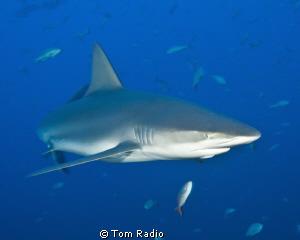 Galapagos Shark Roca Partida, Mexico by Tom Radio