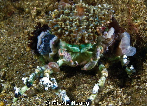 What do you think, good looking? Camouflage Crab Aniloa... by Mickle Huang