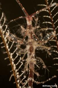 Skeleton Shrimps by William Loke