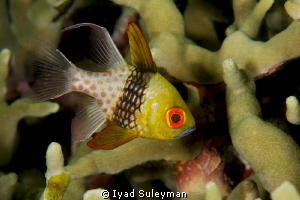 Pajama Cardinalfish by Iyad Suleyman