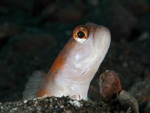 THE GUARDIAN  Wächtergrundel_Amblyeleotris yanoi_Shrimp... by Jörg Menge