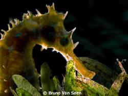 Seahorse backligted by Bruno Van Saen
