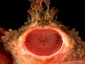The Yawn - Red Rock Cod Twilight diving at Nelson Bay, A... by Ken Thongpila