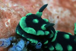 Cristate neon nudibranch, Phillipines 2004. Canon EOS 10D... by Simon Trickett