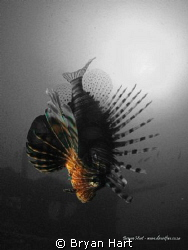 One of the lion fish on Coopers Light Wreck off Durban... by Bryan Hart