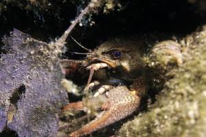 Crayfish by Veronika Matějková