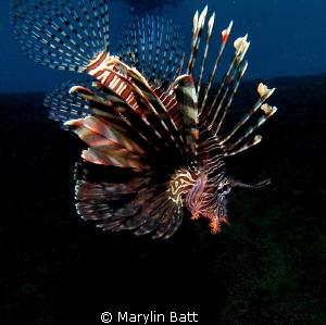 Lion fish by Marylin Batt