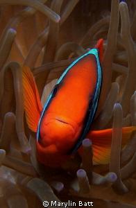 Very friendly clown fish, all eyes by Marylin Batt