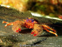 "Galathea strigosa on the wreck ""La Plataforma"" - Espardel... by Alberto Gallucci"