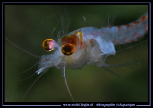 Details of our little Freshwater Shrimps, around 1.5cm (H... by Michel Lonfat