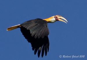 Blyth's Hornbill-Halmahera Island by Richard Goluch