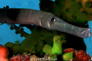 Trumpetfish by Iyad Suleyman
