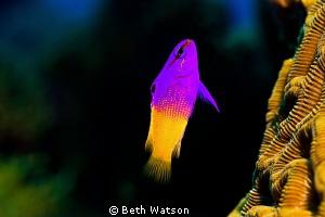 Fairy Basslet...Roatan, Honduras by Beth Watson
