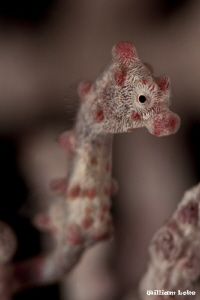 Tiny Pygmy SeaHorse by William Loke