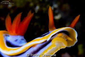 Rampant Chromo by Pietro Cremone