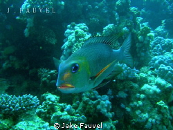 I took this on my third dive in Egypt, a beautiful lookin... by Jake Fauvel