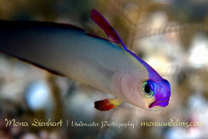 my favourite goby :) by Mona Dienhart