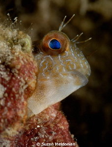 Seaweed Blenny by Suzan Meldonian