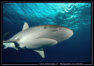 Curious Reef Shark... ;O)... by Michel Lonfat