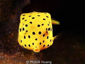 Yellow boxfish - juvenile Aniloa, the Philippines by Mickle Huang