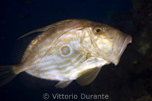 John Dory in action by Vittorio Durante