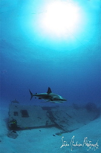 Swimming to the dinner bell. This Reef Shark is a loner a... by Steven Anderson