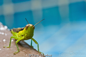 Grasshopper by the pool by Tony Cherbas