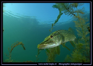 King Pike Fish in his pound... 1 :O)... by Michel Lonfat
